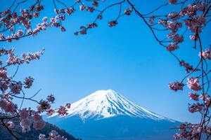Mt. Fuji, Japan framed by cherry blossoms